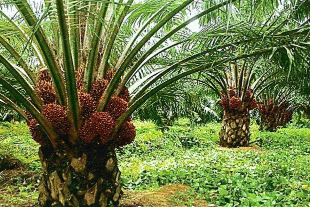 малайзия производство ярсагумба
